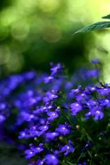 Blue oblivion (annfrau) Tags: blue verde green colours bokeh blu colori lobelia 50mmf18 tinyflowers fiorellini