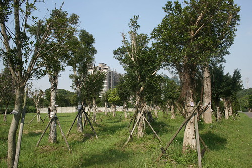 寶湖國小這些存活下來的樹木將再度移植。