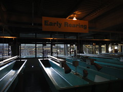 Sam Livingston Fish Hatchery - Early Rearing