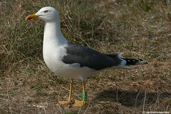 Lesser Black-backed Gull (L.f. graellsii), 18cy, G[F.AHP] (little-W | Studying gulls) Tags: color colour birds gull vogels ring larus mantelmeeuw fuscus graellsi lesserblackbacked intermedius