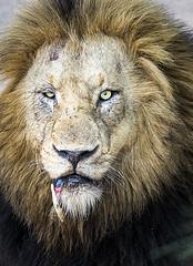 The loser (Sheldrickfalls) Tags: lion lioncloseup lionportrait charleston southernpride nottensbushcamp sabisands krugernationalpark kruger krugerpark mpumalanga southafrica