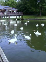 Swan lake (johnnyg1955) Tags: park swan leeds roundhaypark roundhay muteswan waterloolake fowlfeatheredfriends cadésin