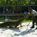 Feeding the Hungry Croc at Gatorland
