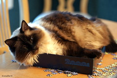 2000 (and 1) Pieces (romamar76) Tags: cat feline funny 2000 pieces box kitty siamese puzzle mitzi ragdoll