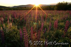 Sugar Hill Lupines Glow at Sunrise New Hampshire (Soluminex) Tags: flowers sunrise nikon glow newhampshire nh sugarhill lupines floralscapes
