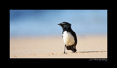 WILLIE WAGTAIL (J Kappely) Tags: birds australia williewagtail avain jordankappely
