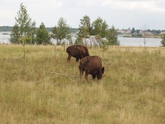 Bison (PercyGermany) Tags: nature tiere nice sweet wildlife natur percygermany