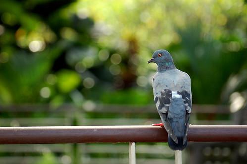 フリー画像| 動物写真| 鳥類| 野鳥| 鳩/ハト|       フリー素材|