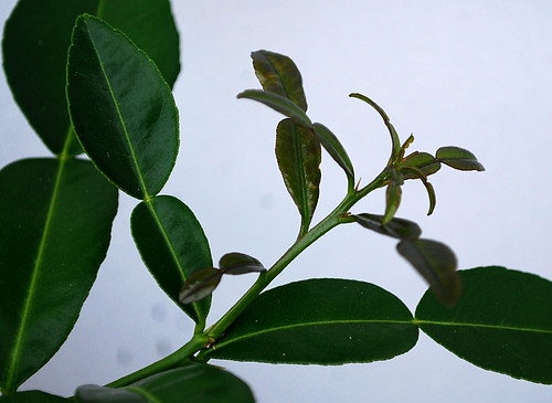 Lime Tree Growth 3