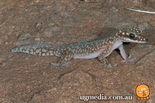 Dotted velvet gecko (Oedura gemmata)