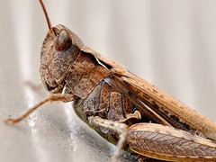 Armour (Greg 50) Tags: macro grasshopper locust armour armure 105mm criquet raynox