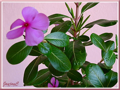 Catharanthus roseus (Madagascar Periwinkle), a purplish-pink form in our garden, July 29 2009