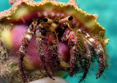 lil'hermie (shappell) Tags: ocean sea usa water hawaii underwater pacific dive crab maui hermit snorkle mulberry drupe