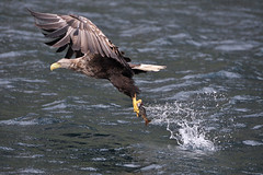 White Tailed Sea Eagle (David Officer) Tags: skye scotland eagle wildlife highland raptor westernisles ornithology portree birdsofprey birdofprey hebrides seaeagle ornithologist hebridean whitetailedseaeagle davidofficer nikond700 davidofficerphotography davidofficerphotographycouk