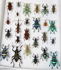 CD496 Boxload of Weevils (listentoreason) Tags: usa nature animal america canon insect newjersey unitedstates beetle favorites places animalia arthropoda invertebrate weevil arthropod coleoptera tomsriver insecta pterygota neoptera endopterygota ef28135mmf3556isusm score30 cucujiformia polyphaga bugmuseum curculionidea insectropolis bugseum