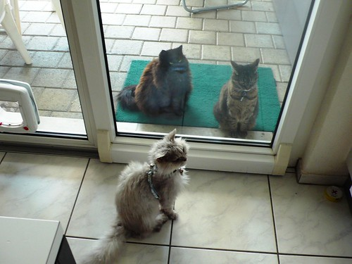 Fluffy, Nera and Tabby waiting for tuna fish