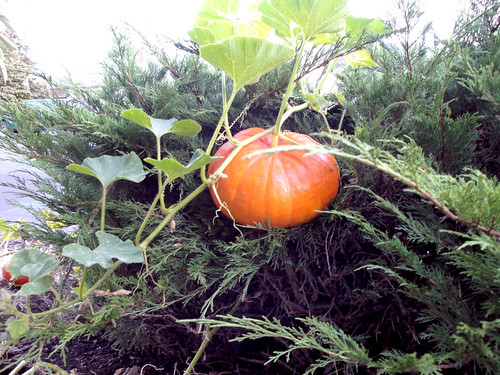 The Suspended Pumpkin