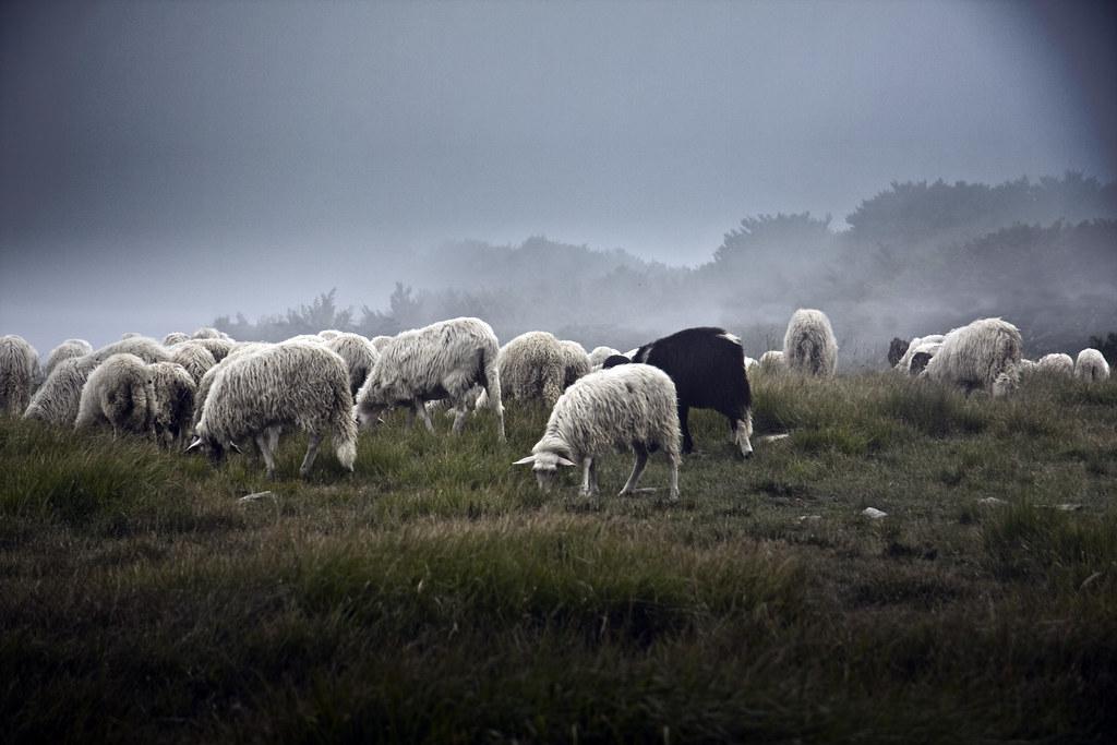 Monte Beigua, Sheeps #1