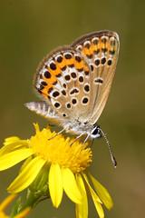 Plebejus argus (Antnio A Gonalves) Tags: lycaenidae plebejusargus