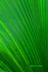 Carlitos (Altagracia Aristy) Tags: amrica dominicanrepublic tropic caribbean cana antilles laromana caribe repblicadominicana trpico antillas quisqueya fujif40fd fujif40 fujifilmfinepixf40fd fujifinepixf40fd palmacana lahispaniola altagraciaaristy canaleave hojadepalmacana canapalmaleave carabi