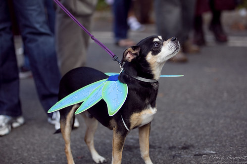 Pixie, the Fairy Dog