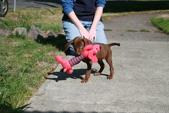 Arrggh! Get the Chew Toy! (Palmer Digital Studio) Tags: dog pet baby brown home halloween puppy toy mix day dancing chocolate tag first vizsla canine queen weimaraner german chew bandana pooch abba hungarian