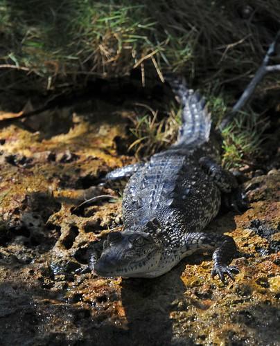 american croc2