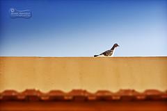 Jay Walking!... (SonOfJordan) Tags: blue sky colour bird canon walking eos daylight cool funny pigeon amman jordan colourful jaywalking xsi  450d  samawi sonofjordan shadisamawi  wwwshadisamawicom