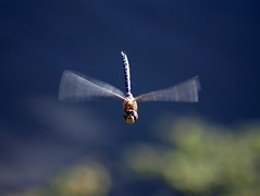 Flying Dragonfly (Chris McLoughlin) Tags: uk wild england macro nature closeup day dragonflies dragonfly wildlife sony yorkshire explore tamron frontpage westyorkshire a300 fairburnings 70mm300mm fairburningsrspbreserve sonya300 tamron70mm300mm sonyalpha300 alpha300 chrismcloughlin