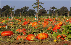 smashing pumpkins (champbass2) Tags: california autumn orange tractor fall northerncalifornia farming walnuts harvest orchard seeds machinery agriculture riverroad chicocalifornia fallharvest cinderellapumpkins pumpkis champbass2 westernhybridseedsinc
