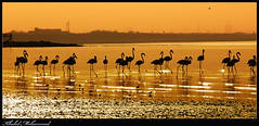 Flamingos ,   (Khaled Mohammed - @khaled690) Tags: copyright flamingos mohammed kuwait khaled 2010 freezone