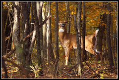 Tail Up (Hamilton Images) Tags: ohio fall colors leaves canon mammal october deer antlers toledo buck 2009 100400mm whitetaileddeer odocoileusvirginianus 10point img7854 5dmarkii