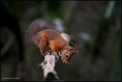 Curiosity (David Hannah) Tags: red tree forest canon fur climb scotland ginger bush woods squirrel branch tail ears tamron nois curiosity f28 furr 70200mm hazelnuts 40d welcomeuk