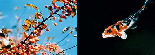 NYBG : Berries & Koi