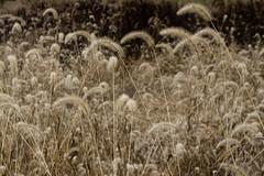 sorghum (masande) Tags: fall stormking drizzle wetfeet