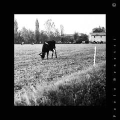 pascolo di pianura (paolo.benetti) Tags: bw 6x6 italia campagna ferrara nikkor mucca ilford fp4 mucche 105mm pellicola pascolo riproduzione masitorello zenzabronicas2