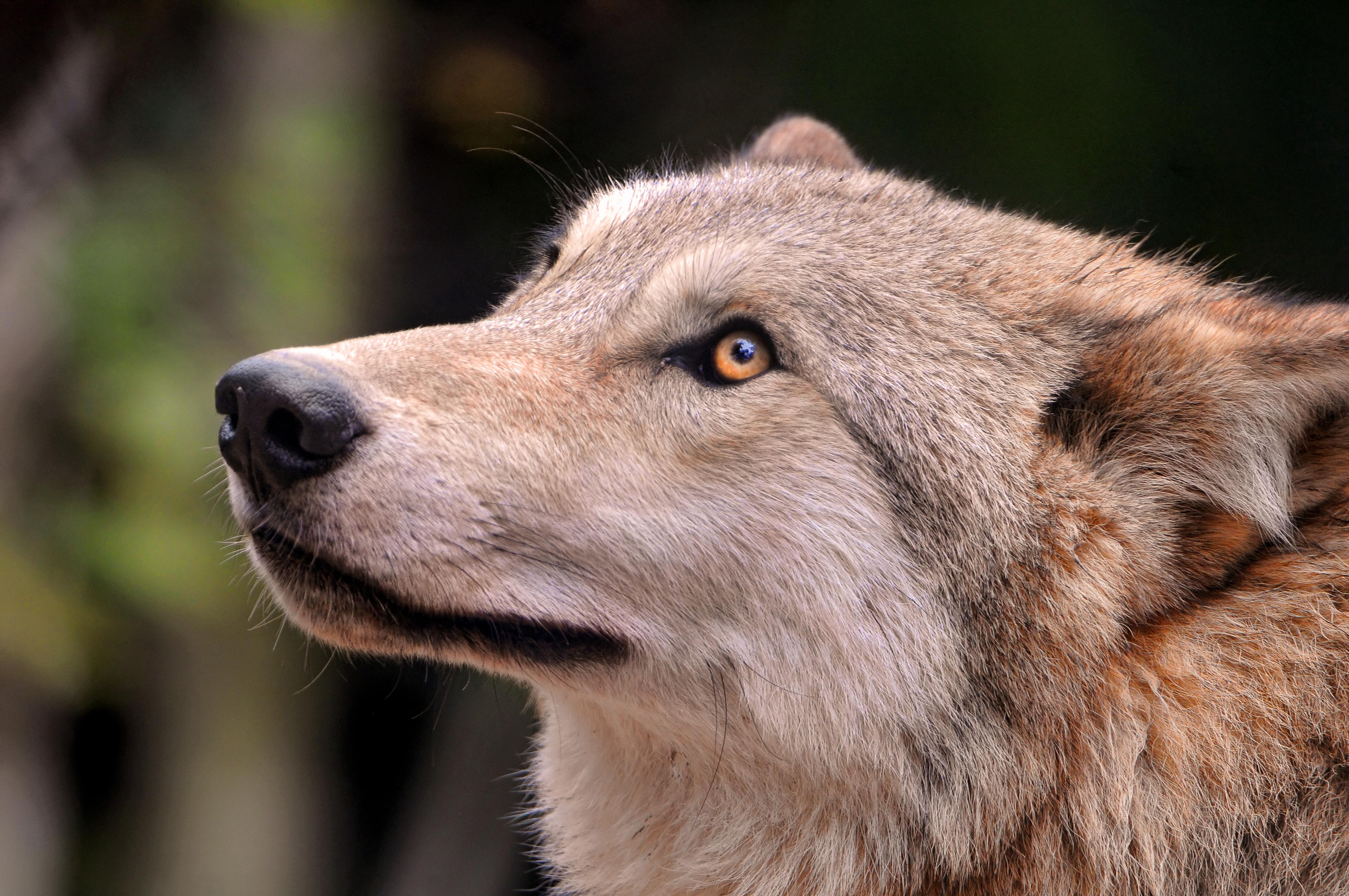 綺麗な瞳の狼の画像