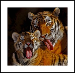 _MG_6750E (Ralston Images) Tags: animal cat canon cub feline wildlife tiger jaguar puma panther siberiantiger pantheratigrisaltaica amurtiger bengaltiger hoglezoo impressedbeauty canon5dmkii jrphotography flickrbigcats jasonralstonphotography