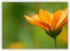 Orange flower (NathalieSt) Tags: orange flower macro green fleur yellow jaune petals bokeh vert petal 1001nights pétale pétales saariysqualitypictures