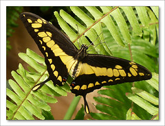 Papilio thoas nealces  [The Giant Swallowtail]