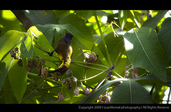 huming bird (zuar78) Tags: bird canon hummingbird wildlife mental wildbird huming canon400d zuar zuar78 zuarmental