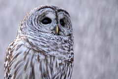 Baby It's Cold Outside (Megan Lorenz) Tags: winter wild snow ontario canada cold bird nature closeup outdoors brighton looking wildlife watching owl curious predator staring alert avian birdofprey barredowl wildanimals potofgold blurredbackground specanimal meganlorenz thewonderfulworldofbirds mlorenzphotography winternw11