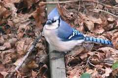 blue jay in the garden