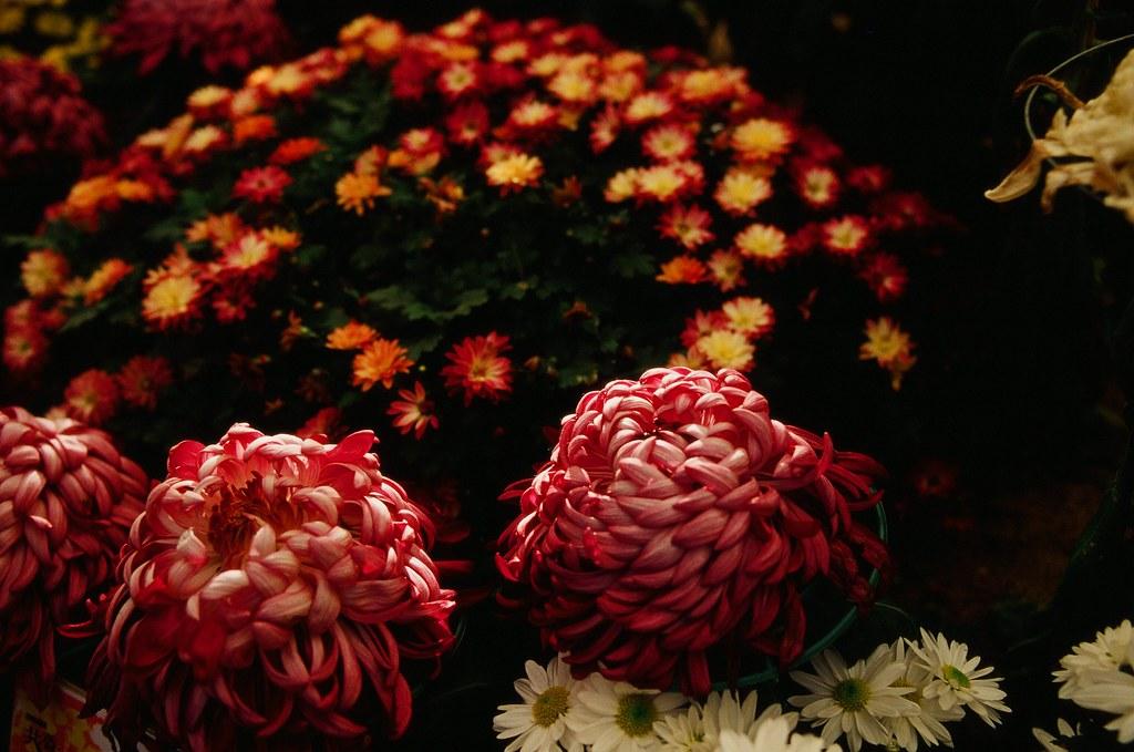 公主的菊花台