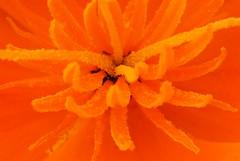 Poppy Stamen (cycle.nut66) Tags: summer orange flower macro up four close olympus m stamen micro poppy zuiko thirds evolt epl1 mzuiko