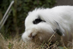 Matisse (madmet_ra) Tags: rabbit bunny animal fuzzy animale cucciolo coniglio peloso ariete