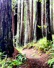 2017-02-18_12-43-48 (jonathanyoung4) Tags: redwoods california ameture trail trees national forest gn ghostninja