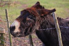 Ane dans la campagne roannaise HFF (BPBP42) Tags: fence ane donkey animal nature