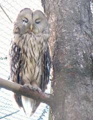 Wardrobe malfunction (Kanikoski) Tags: finland helsinki korkeasaari zoo owl birds topv2222