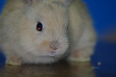 Hello Flickr (moemoechi) Tags: pet rabbit japan  minirabbit  babyminirabbit filamwaldorfmdusa